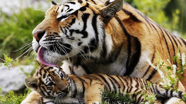 1-filhote-tigre-siberiano-com-m%C3%A3e.jpg