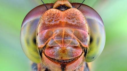 Esta libélula parece sorrir para a foto
