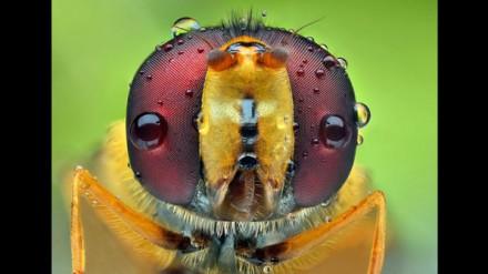 Água em cima dos olhos de um inseto fotografado com uma objetiva macro