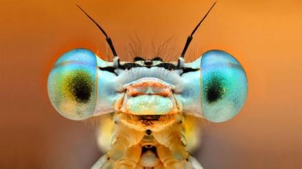 Zygoptera ou Donzelinhas, quando pousa mantêm as asas juntas e paralelas ao comprimento do corpo, diferente das libélulas, que as mantêm perpendiculares ao corpo