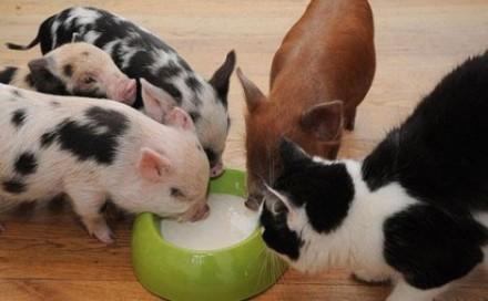 11-cadela-gato-porquinhos1-440x272