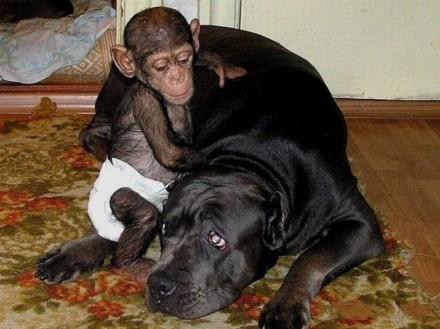 4-cao-chimpanze3-440x329