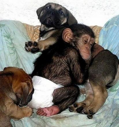 5-cao-chimpanze4-412x440