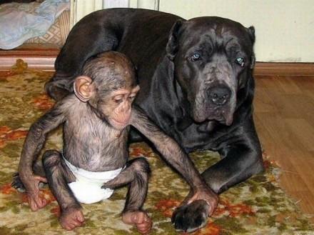 9-cao-chimpanze8-440x329