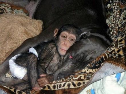 cao-chimpanze1-440x322-9