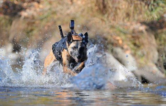IMPRESSIONANTE: Um desses cães-soldados participou do comando da Marinha dos EUA que matou o terrorista Osama Bin Laden
